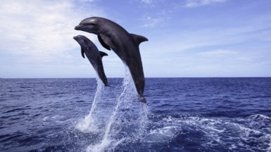 Mucus Lets Dolphins Emit Their Clicks