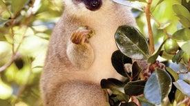 Why Lemurs Have Such Strange Diets