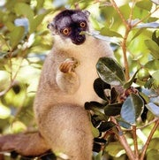 Why Lemurs Have Such Strange Diets