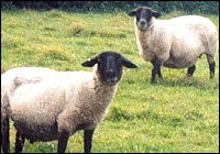 Prions Found in Muscles of Scrapie-Infected Sheep