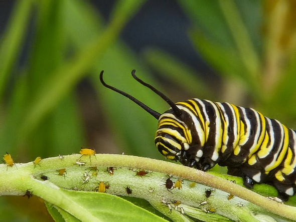 The Curious Case of the Caterpillar's Missing Microbes