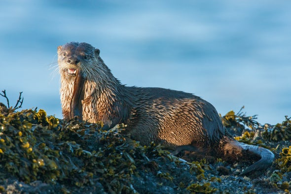 Otter Poop Helps Scientists Track Pollution at a Superfund Site