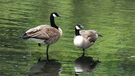 Canada Geese Taking a Winter Staycation