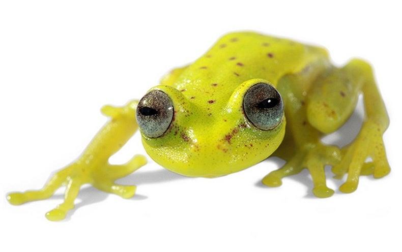 first fluorescent frog found scientific american