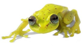 First Fluorescent Frog Found