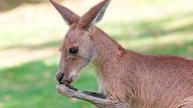 Kangaroos with Puppy Dog Eyes