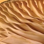 <b>Honey mushroom</b>