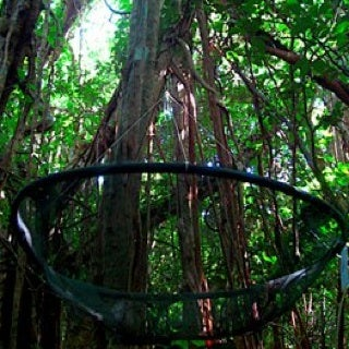 Avian Silence: Without Birds to Disperse Seeds, Guam's Forest Is Changing
