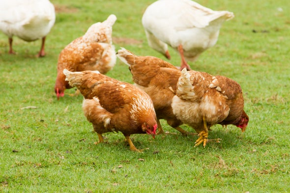 To Prevent Disease, Stop Kissing and Snuggling Your Chickens