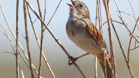 Bird's Song Staying Power Implies Culture