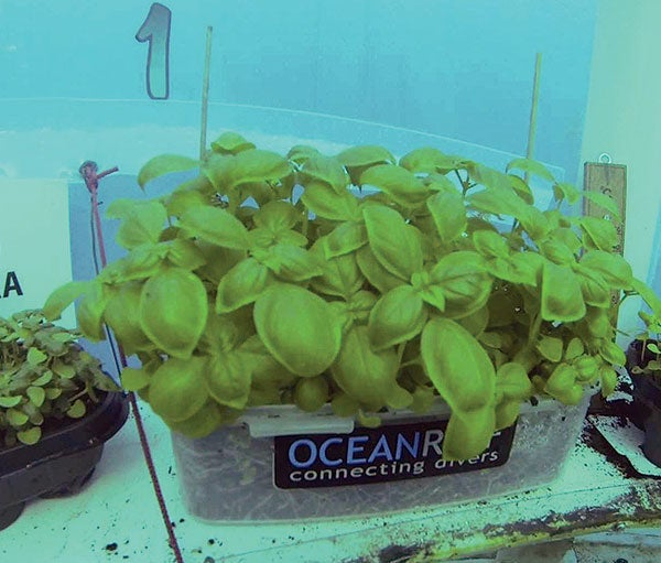 Strawberries, Basil and Beans Thrive in Underwater Greenhouses