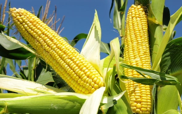 Rev Up Photosynthesis to Boost Crop Yields
