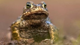 Wild Toads Saved from Killer Fungal Disease