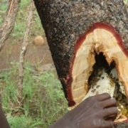 Honey Makes Up Nearly 20 Percent of Diet in Tanzanian Group