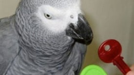 Alex the Parrot's Posthumous Paper Shows His Mathematical Genius