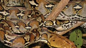 Python Predation: Big snakes poised to change U.S. ecosystems