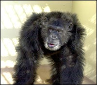 Clint the chimp