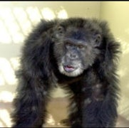Chimp Genome--and First Fossils--Unveiled