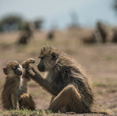 Amboseli Baboon Research Project is studying animals from Acacia's group.