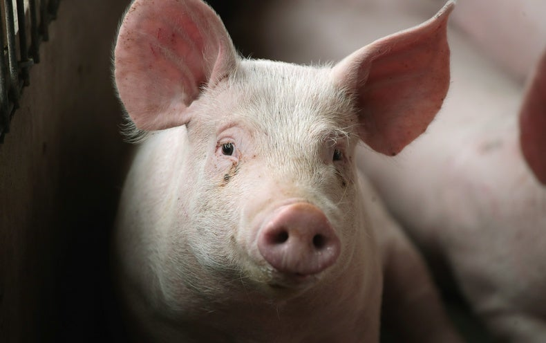 A Warming Climate Could Make Pigs Produce Less Meat - Scientific American