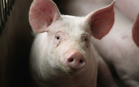 A Warming Climate Could Make Pigs Produce Less Meat
