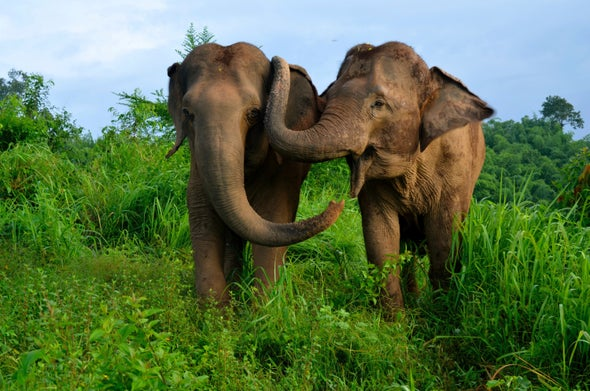 Asian Elephants Console One Another When in Distress