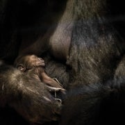 What Animals Know about Where Babies Come From