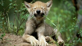 Some Wolf Pups Show Innate Fetching Talent