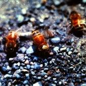 This honeybee,