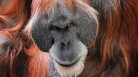Deadly Orangutan Attack: 2 Apes Team Up to Kill Another