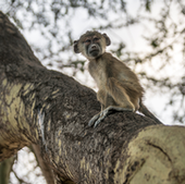 The baboons give an opportunity to bridge research in evolution and human health.