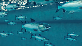 The Future of Fish Farming May Be Indoors