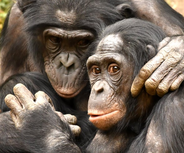 Bonobo Mothers Supervise Their Sons' Monkey Business