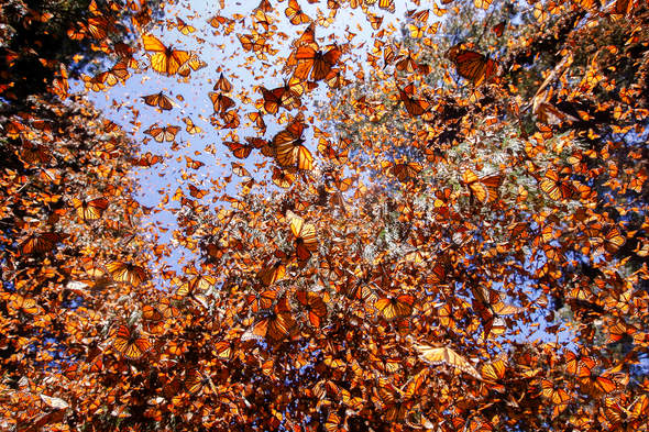 Protecting Monarch Butterflies Could Mean Moving Hundreds of Trees