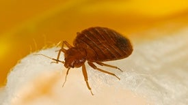 Did Bed Bugs Bite Early Humans? Pest's Oldest Relatives Found in Oregon
