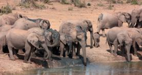elephants by water