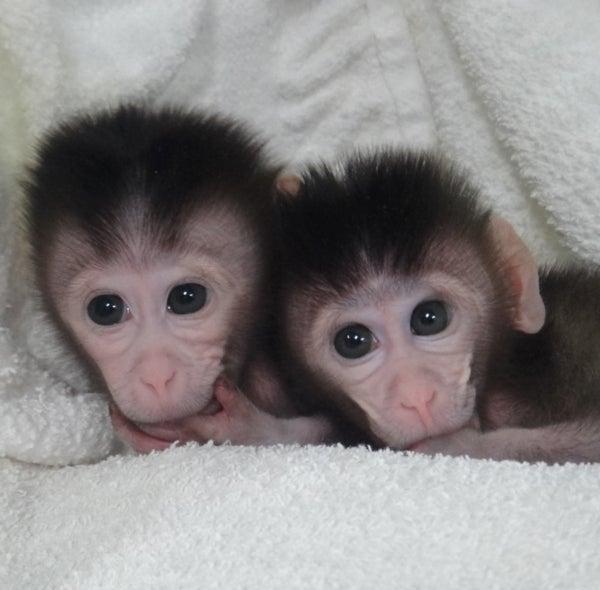 New Biotech Makes It Much Easier to Genetically Modify Monkeys