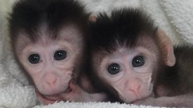 New Biotech Makes It Much Easier to Genetically Modify Monkeys