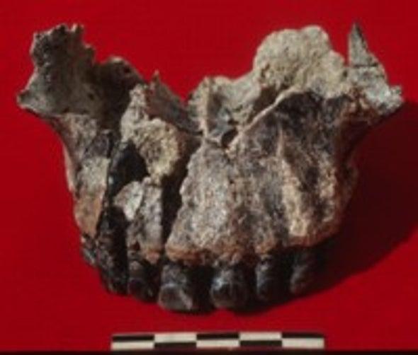 Tanzanian Fossil May Trim Human Family Tree