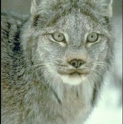 Climate Changed Genetics of Canadian Lynx