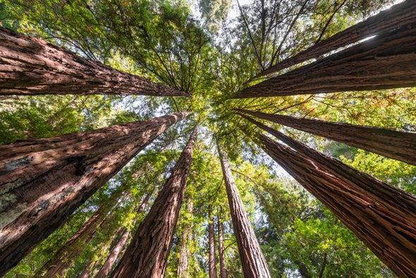 Towering Sequoias Are Even Bigger Than Thought, Laser Scans Suggest