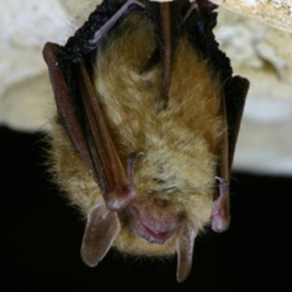 Disease Decimating Bats in Northeastern U.S.