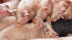 Defecation Nation: Pig Waste Likely to Rise in U.S. from Business Deal