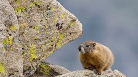 Mountain Mammals Climb Higher to Beat the Heat