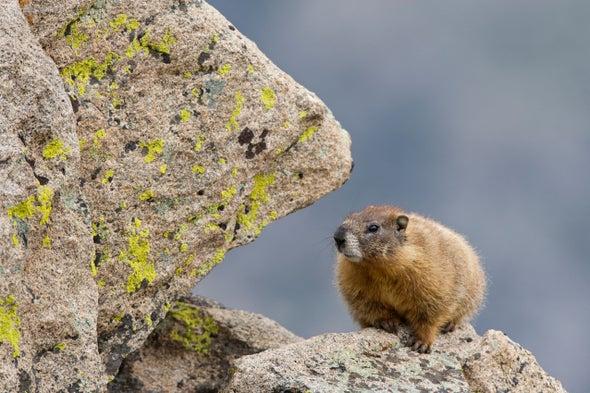 Mountain Mammals Climb Higher to Beat the Heat