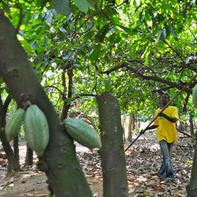 Cocoa in Ghana
