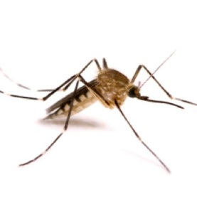edes canadensis mosquito