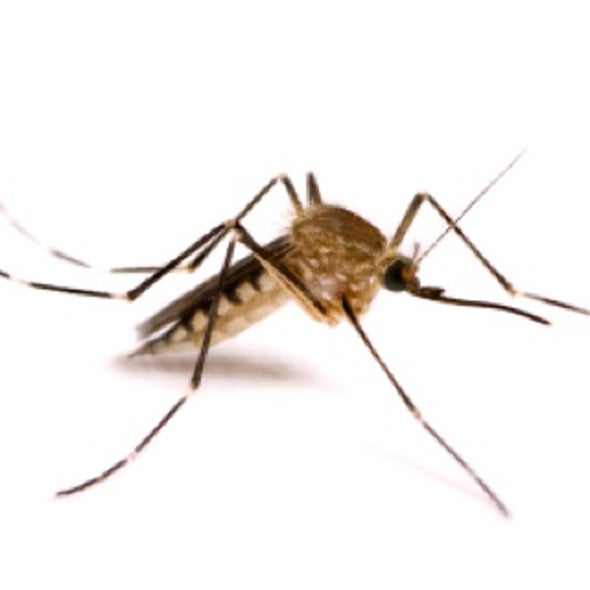 Prickly Problem: Engineering Mosquitoes to Spread Less Disease without Boosting Virulence