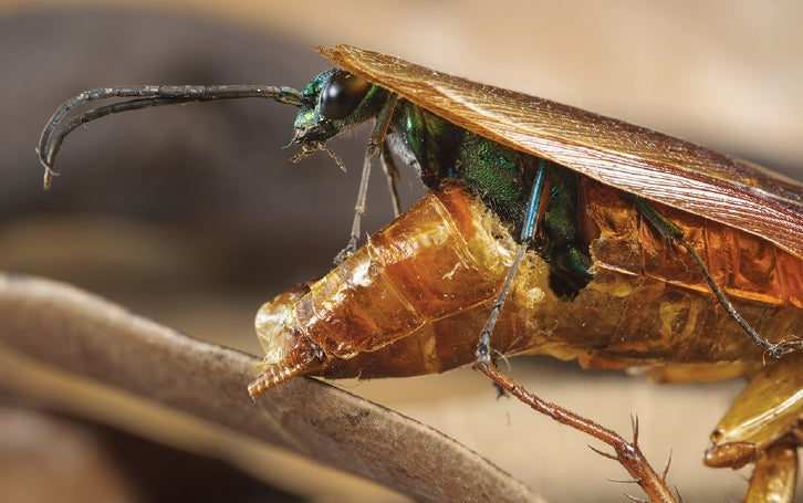 Jewel wasp emerging from its roach host