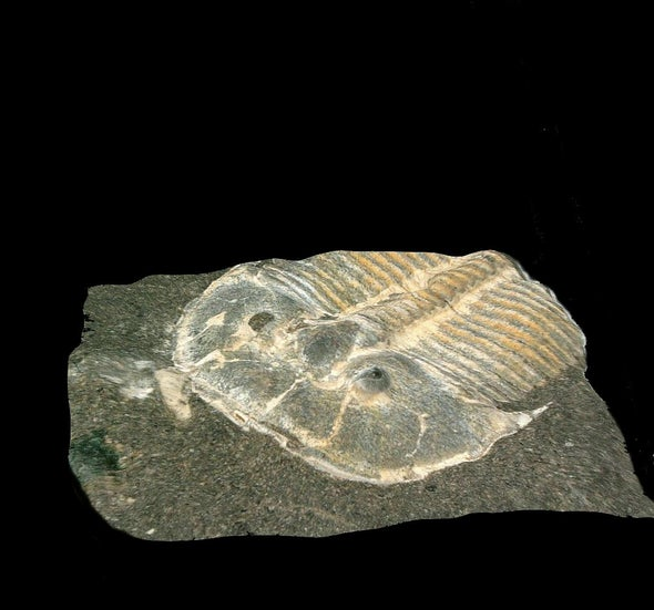 A 429-Million-Year-Old Trilobite Had Eyes like Those of Modern Bees